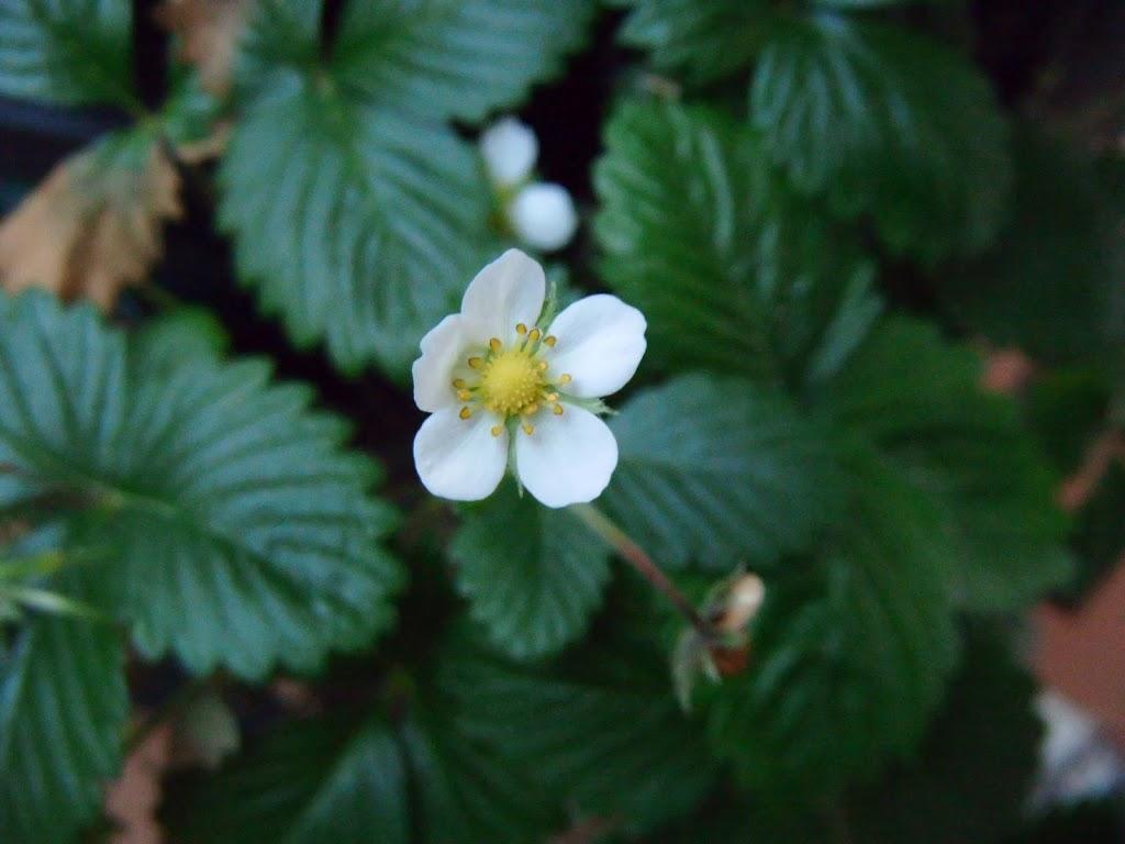 Fresal - Strawberry