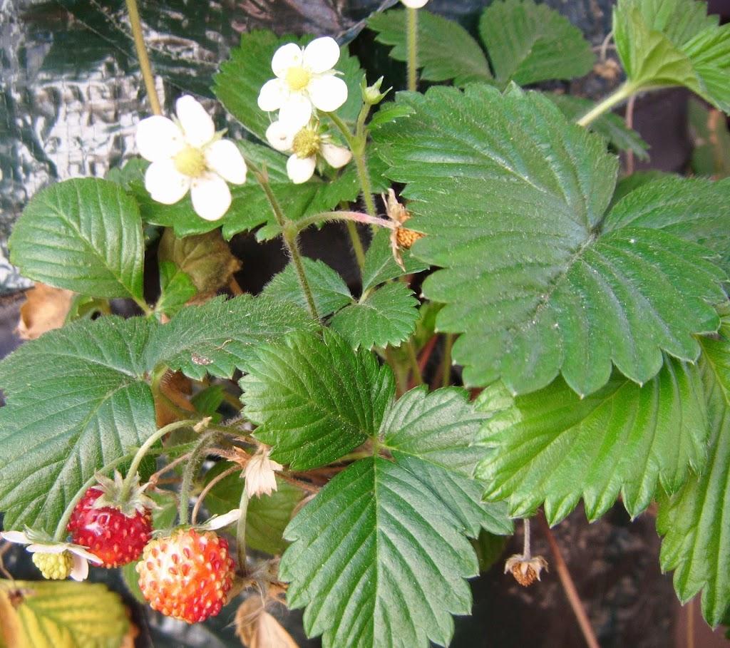 Fresas - Strawberries