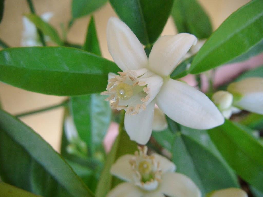 Flores de naranjo - Orange blossom
