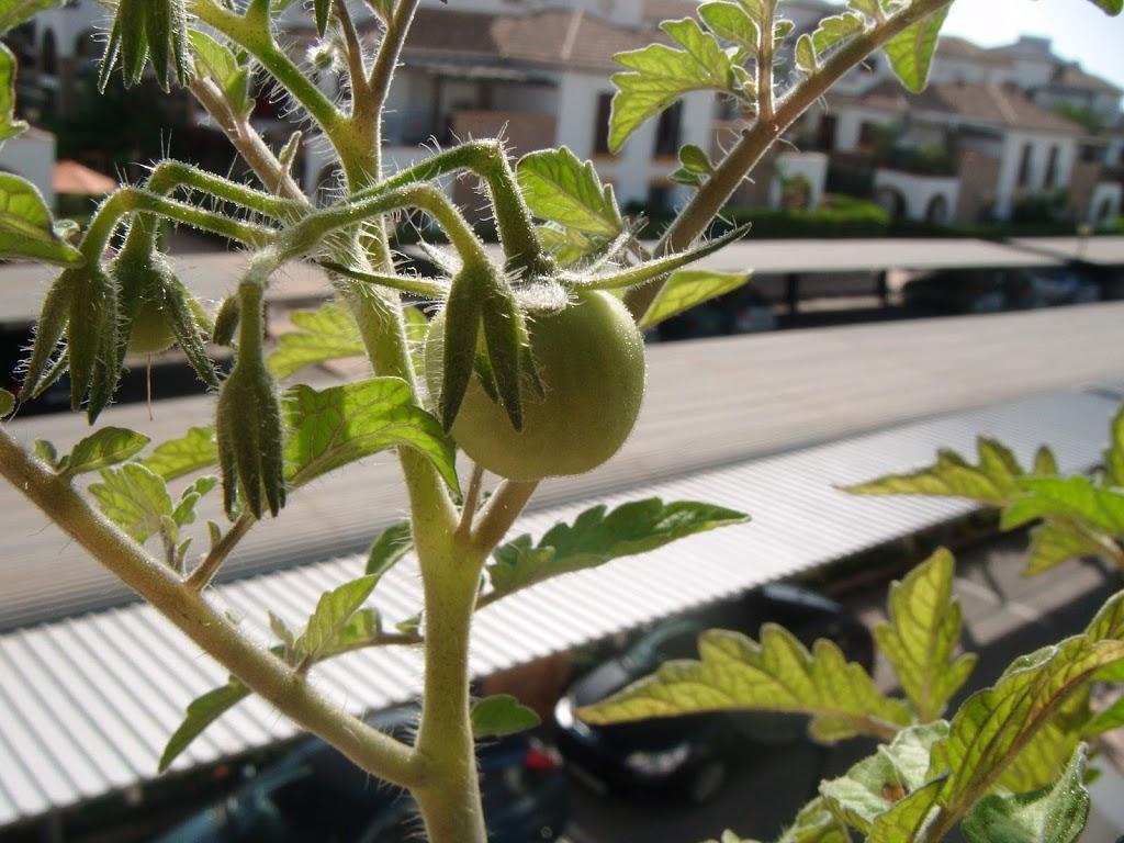 Mi primer tomate! - My first tomato!