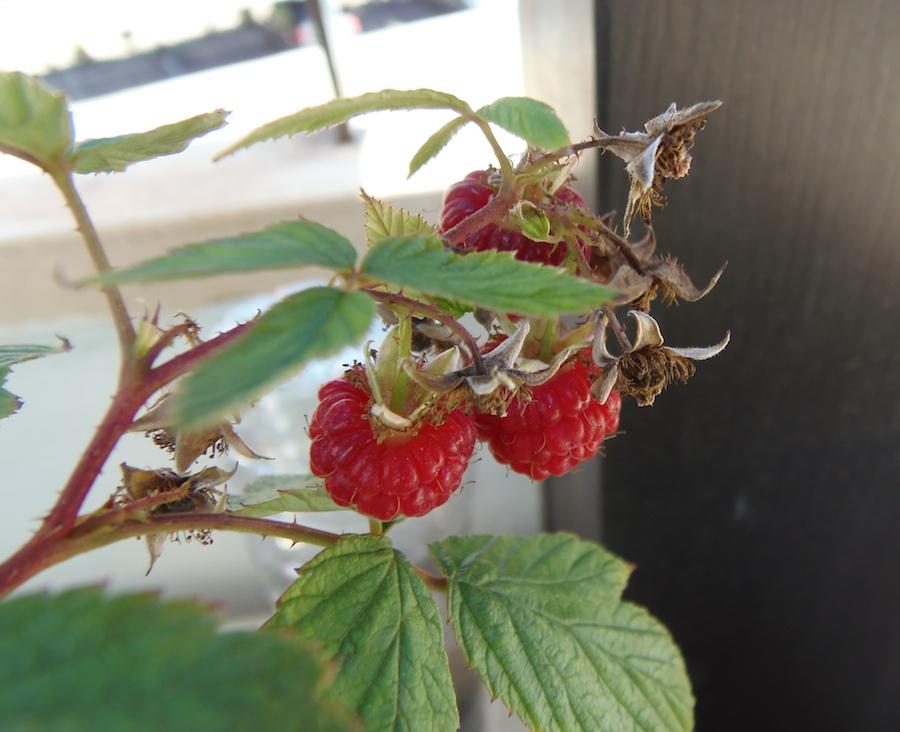 Frambuesas - Raspberries
