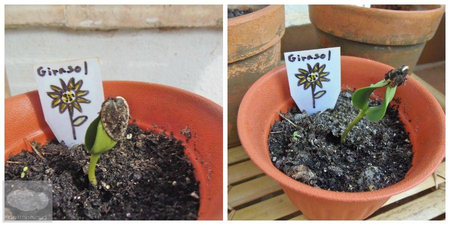 Girasol - Sunflower